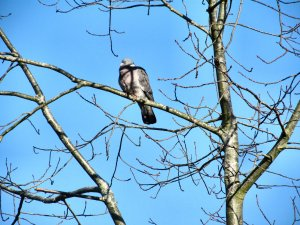 A roosting dove (or pigeon) in a tree in Titchfield, Hampshire..