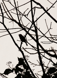 A singing bird silhouettted...