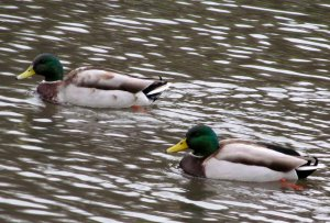 Two ducks...