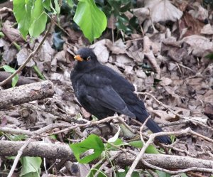 The trip down to Kent was a fortnightly one I make to visit my Mum, and as I was making my way to her home, I passed a blackbird in some nearby park land, so here he is ;)...