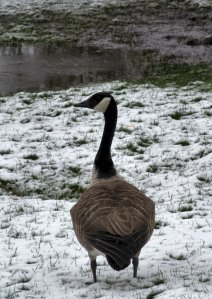 A Canada Goose