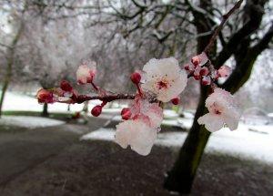 Frozen magnolia flowers