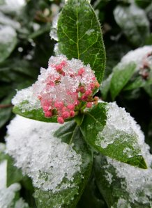Icy leaves and flower