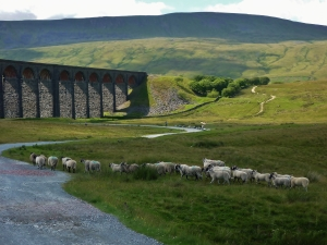Sheep at Ribblehead Viaduct...