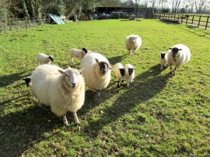 Some friendly Swanmore sheep...