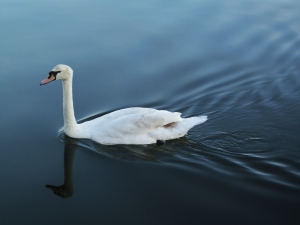 Another swan, Canoe Lake