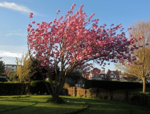 Flowering cherry, near Canoe Lake, Southsea