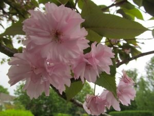 FloweringCherry
