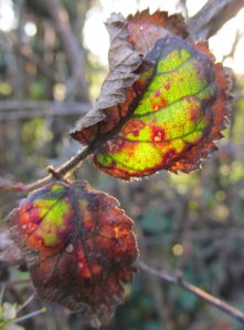 Some back-lit leaves en route..