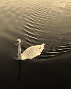Swan, Canoe Lake, Southsea