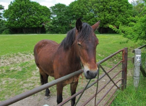 A friendly horse in Cartwright Drive, Titchfield, at lunchtime today...