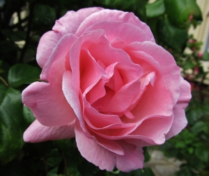Pink Rose, Festing Road
