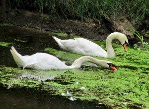 Little Ouse swans feeding methinks...