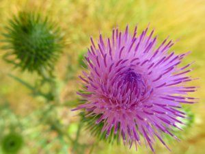 This is evidently a thistle...