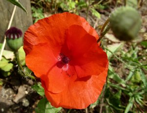 Ah, definitely a poppy (which are prolific in some parts of Norfolk)...