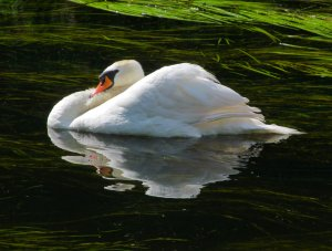 A sedate swan and its reflection...