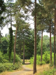 Thetford Forest pine trees...