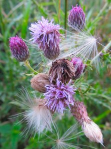 Some kind of thistle methinks...