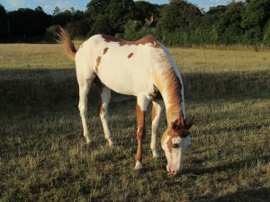 A friendly piebald horse...