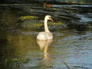 ...and a swan, and a duck, bathed in evening light...