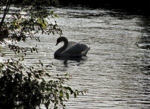 A swan contre-jour...