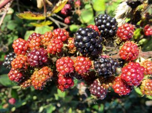A clustering of blackberries...