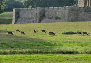 Antlered deer in the grounds of Raby Castle...