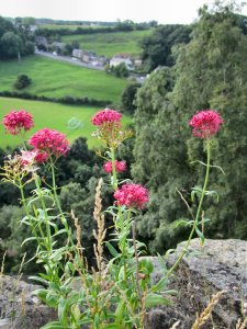 Flowers on the walls of Richmond Castle...