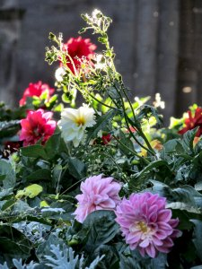Flowers in sunlight, in front of Greyfriars Tower, in Friary Gardens, Richmond, North Yorkshire