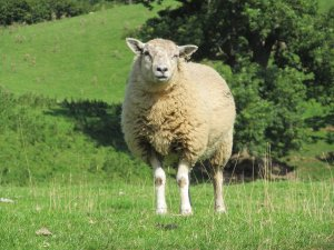 A sheep at Marrick, in Swaledale...