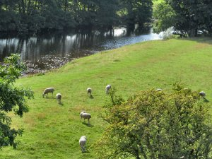 Sheep grazing near the River Swale, near Marrick...