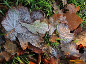 Frosty autumn leaves, Southampton Road, Titchfield