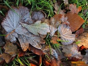 Frosty autumn leaves, Southampton Road, Titchfield
