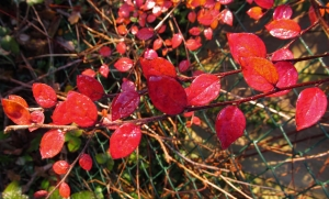 Early morning red leaves, footpath, Titchfield