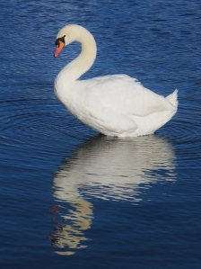 Canoe Lake has plentiful swans, and here's one of them...