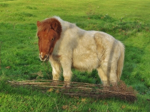 Little horse, in a field off Cartwright Drive , Titchfield